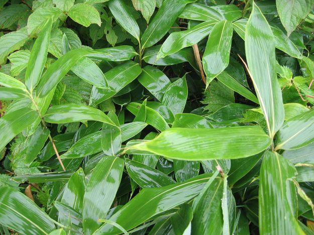 Kumazasa bamboo